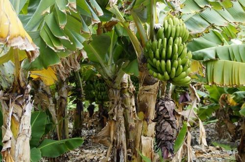 bananas-2424298_640